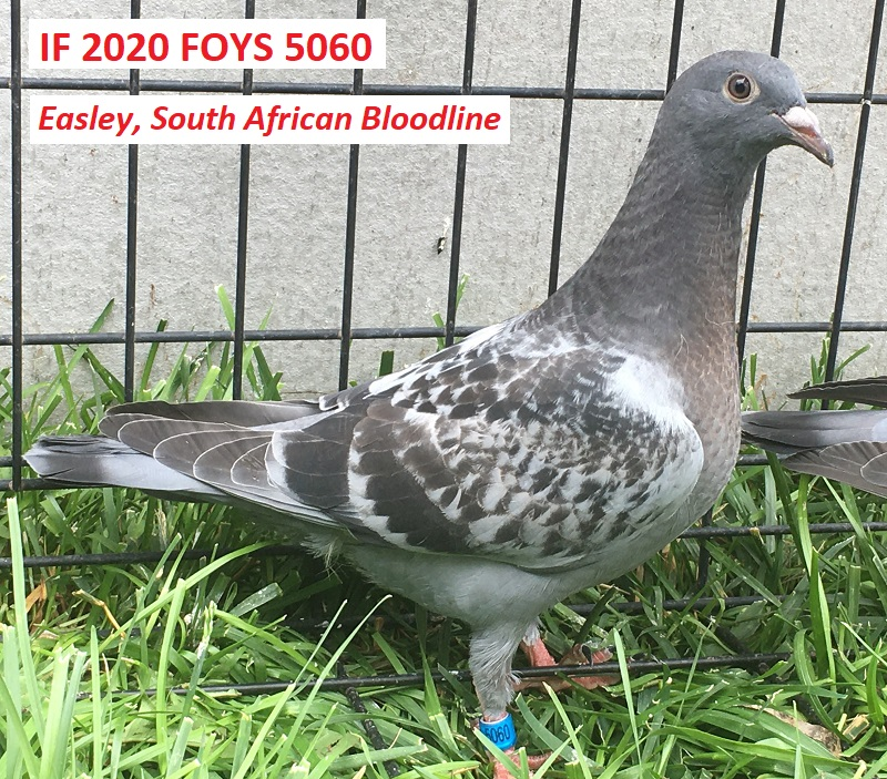 IF 2020 FOYS 5060 - Easley, South African Bloodline