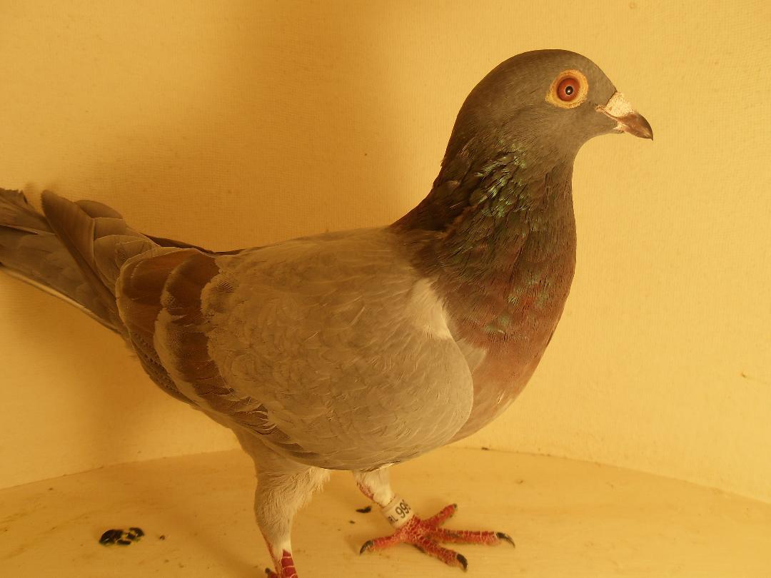 17 JRL 999 CH B Hen