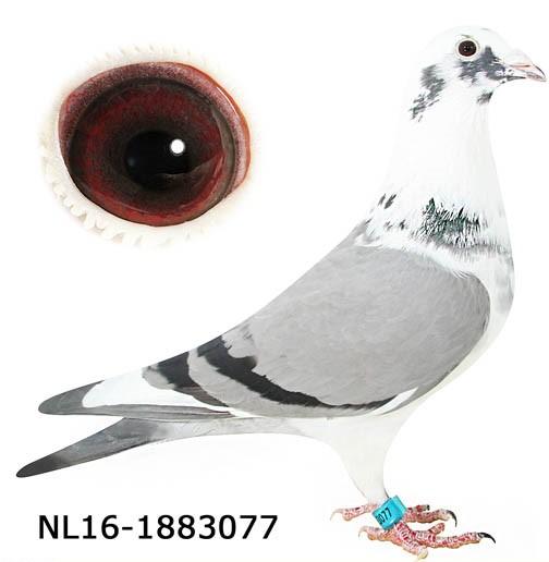 """""""New Gladiator 077"""" NL-16-1883077 Bluepied Hen"""