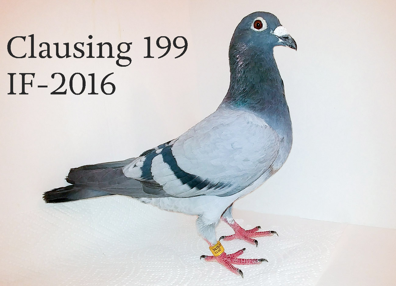Clausing 199 IF 2016, blue bar cock.