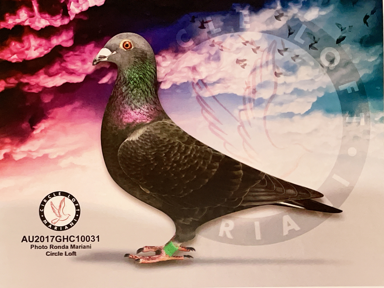 Pedigreed Black Pearl Hen