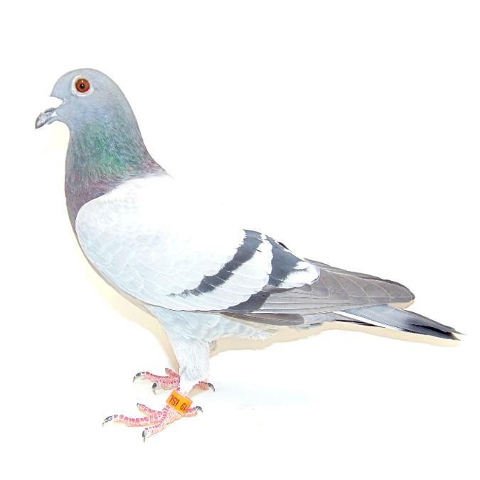 19 ISL249 BlueHofken Cock