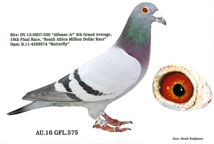GFL 575 - 2016 Blue Bar Male