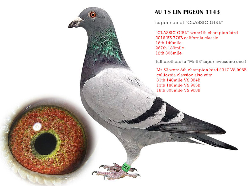lin pigeon 1143
