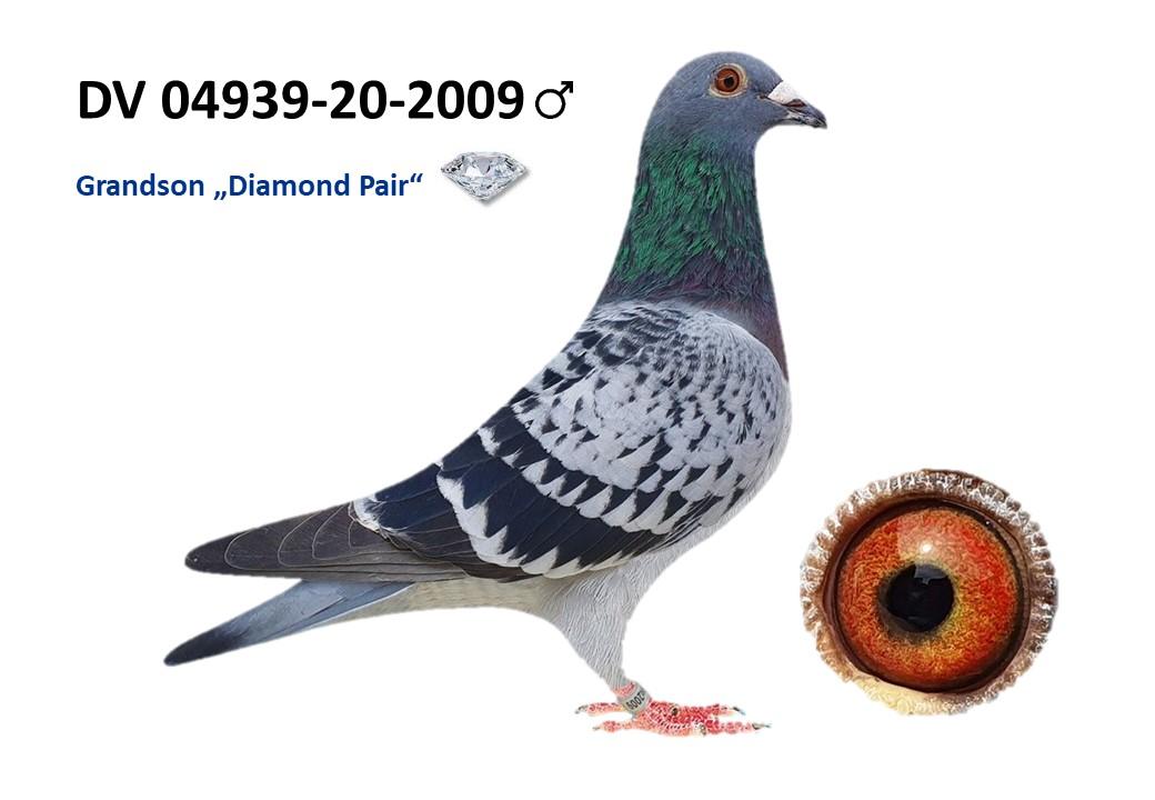 Grandson Diamond Pair DV 04939 2020 2009  Male direct from a Son Diamond Pair BEST PAIR in the Loft!