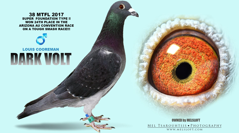 "2017 MTFL 38 VELVET COCK ""DARK VOLT"" WINNER 24TH PLACE AZ AU CONVENTION 2017 !!!"