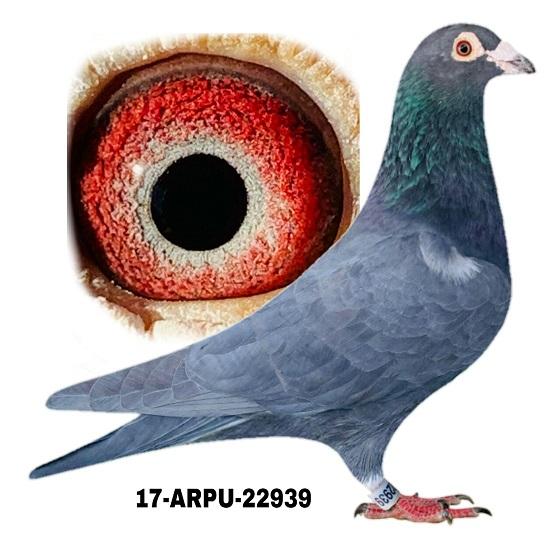 17-ARPU-22939 Black WF Cock.