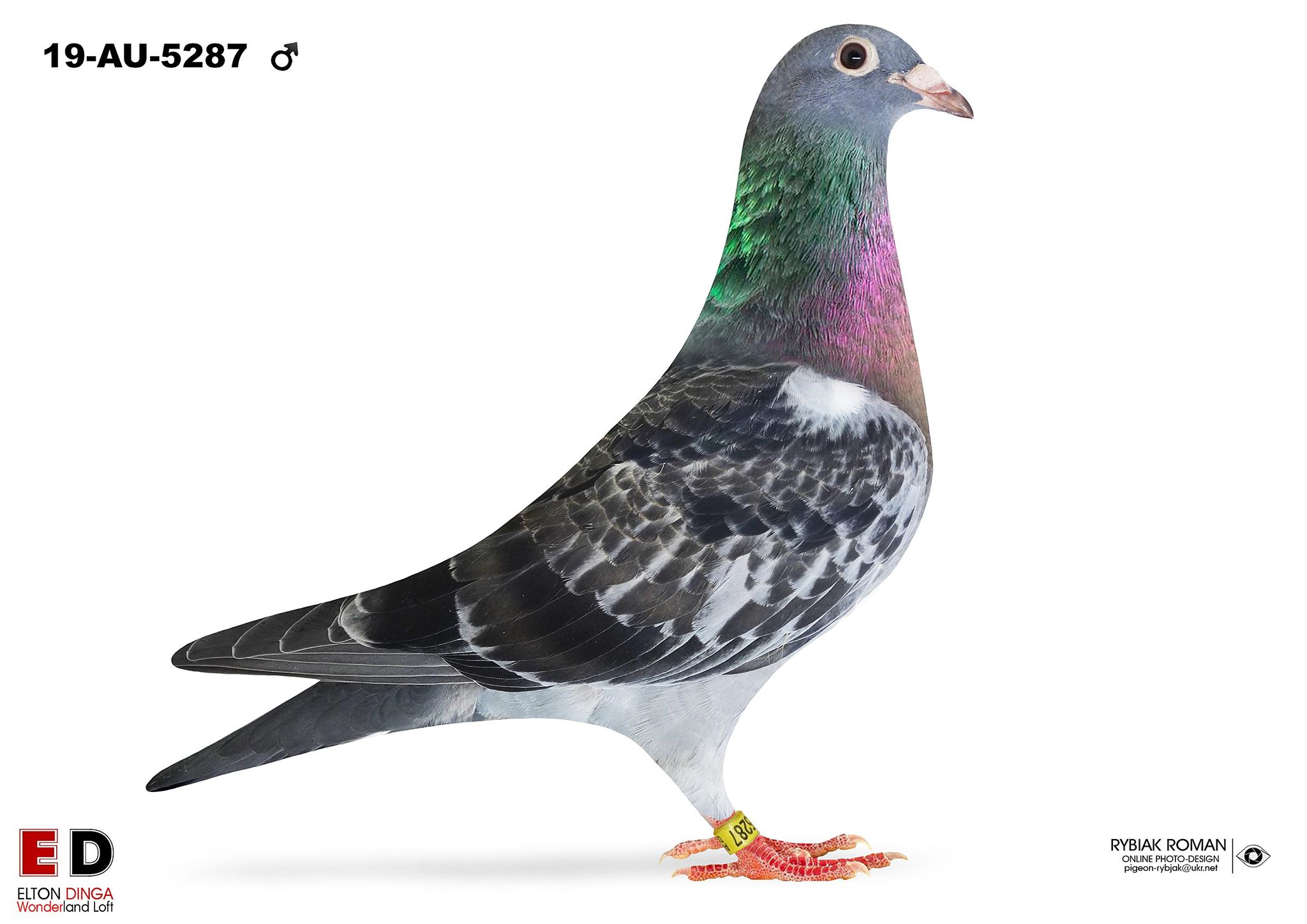 5287 1/2 Brother 3rd Ace Pigeon - Big Andy 2019