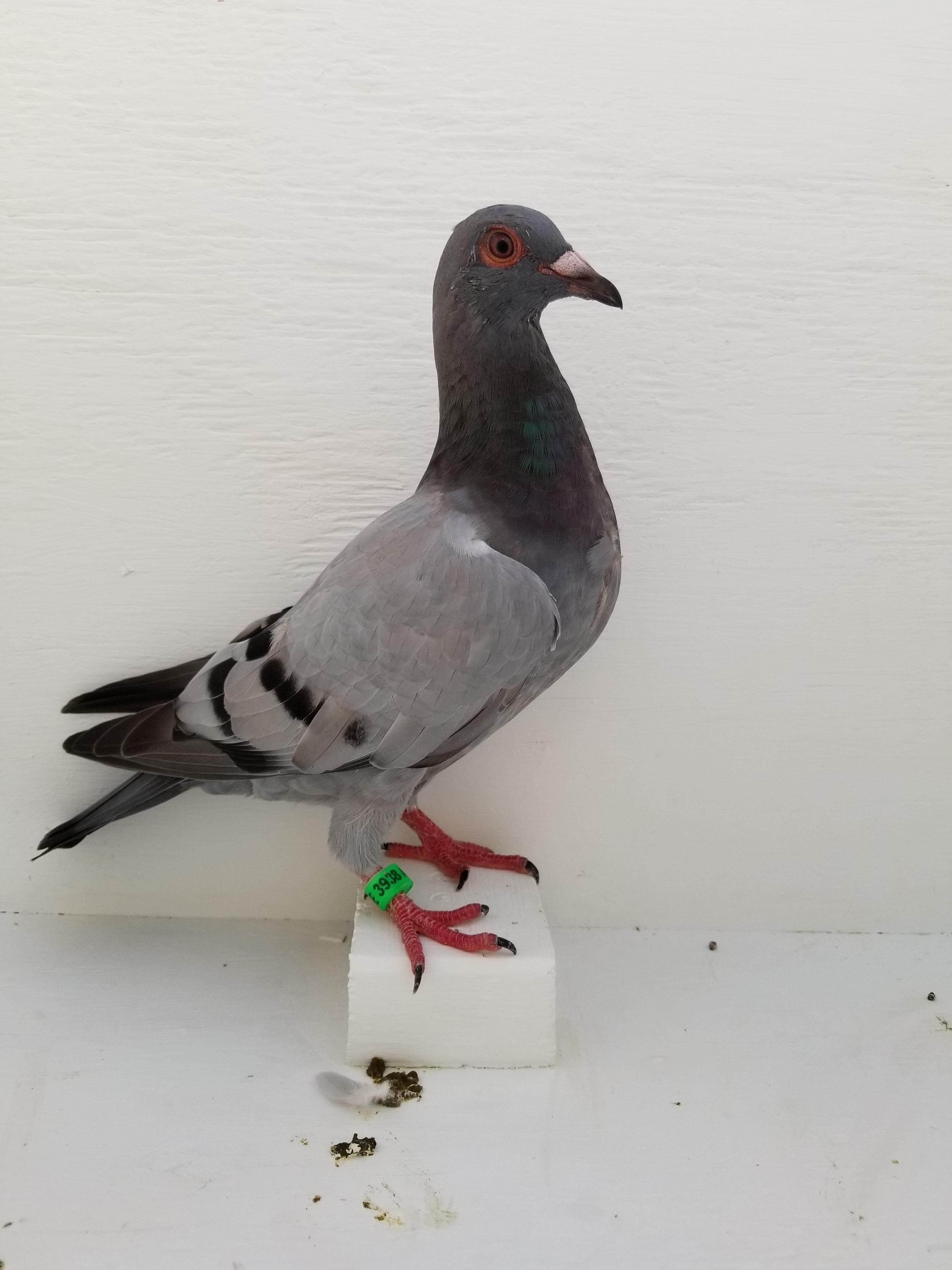 AU 18 SCHE 3938 Speed Bird