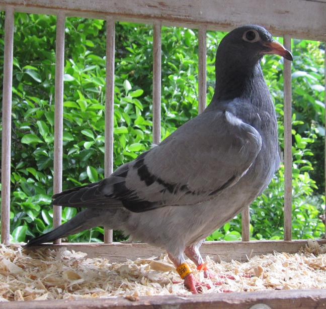 IF-2019-TRC-9667 Blue Bar Cock