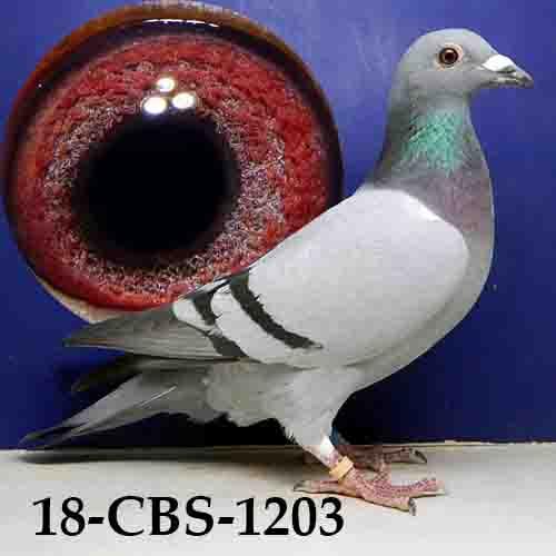 18-CBS-1203 BB Cock