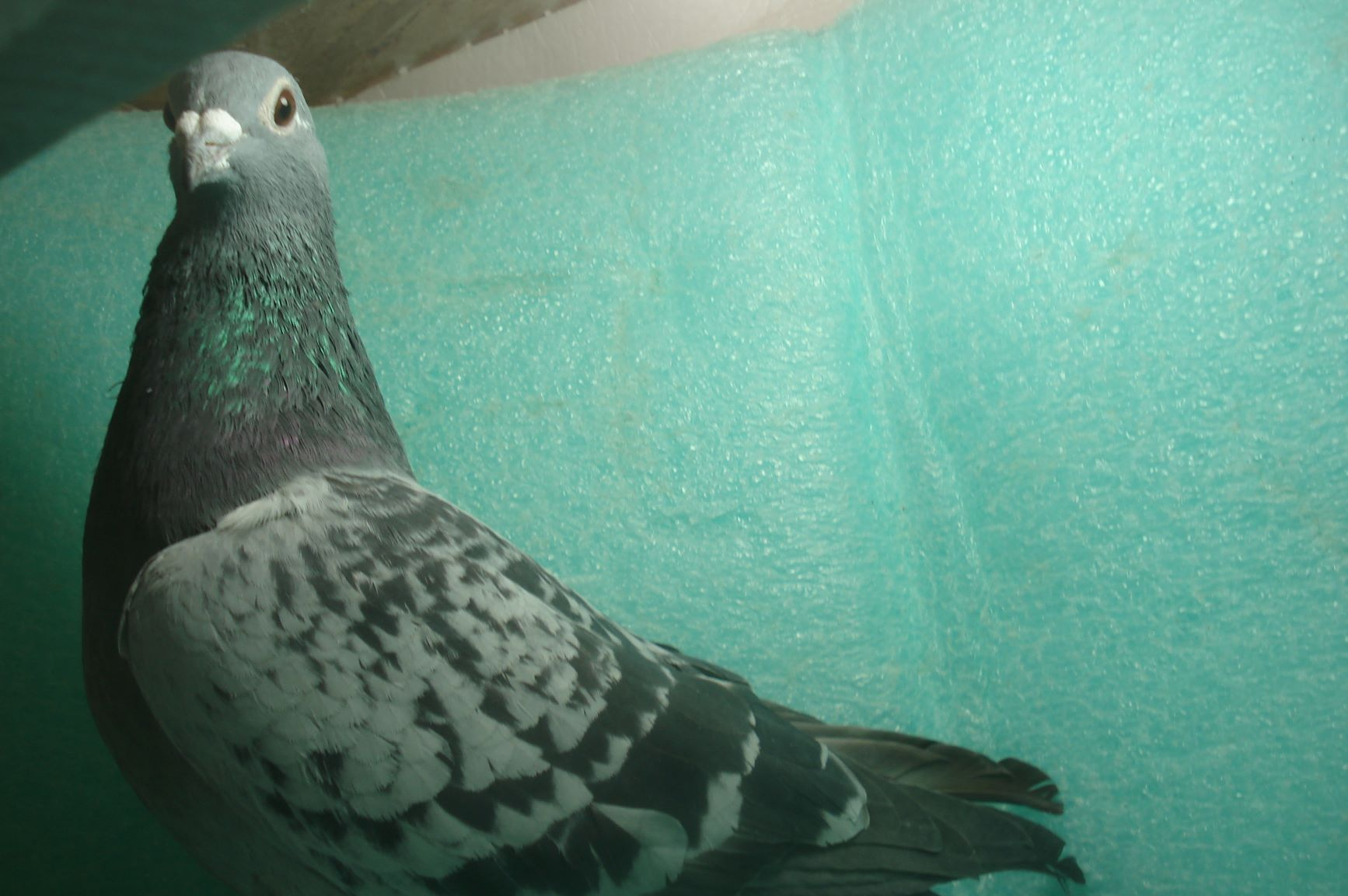 IF18 Yukon261 Blue Check Hen