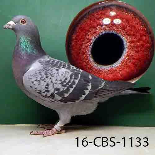 16-CBS-1133 BC HEN