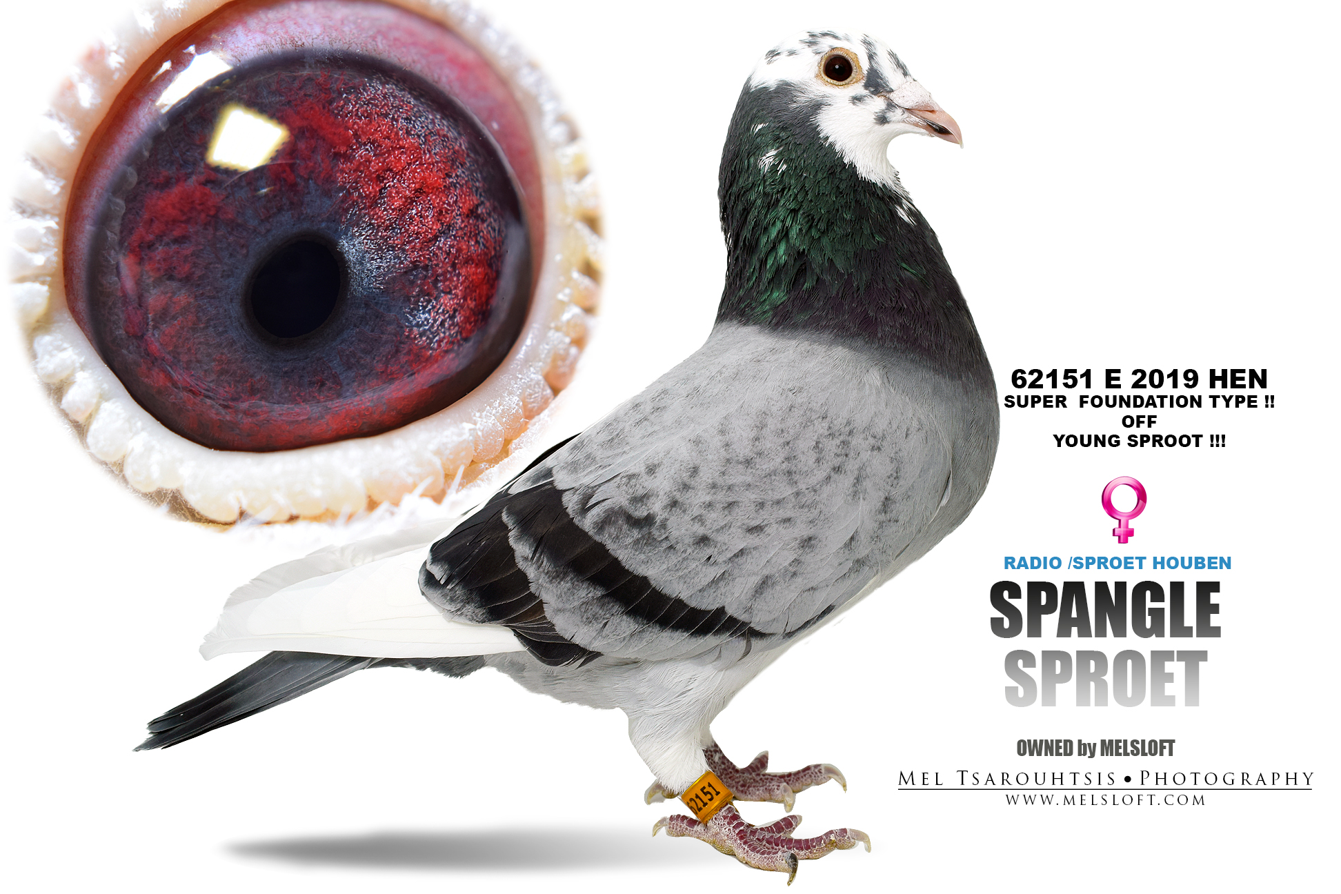 "2019 E 62151 PENCIL SPLASH HEN ""SPANGLE SPROET"" RADIO HOUBEN"