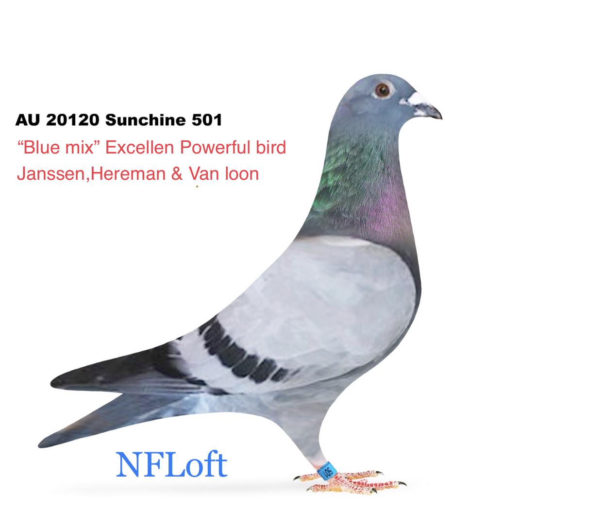 AU 2020 Sunchine 501 Cock