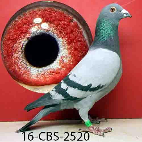 16-CBS-2520 BB COCK