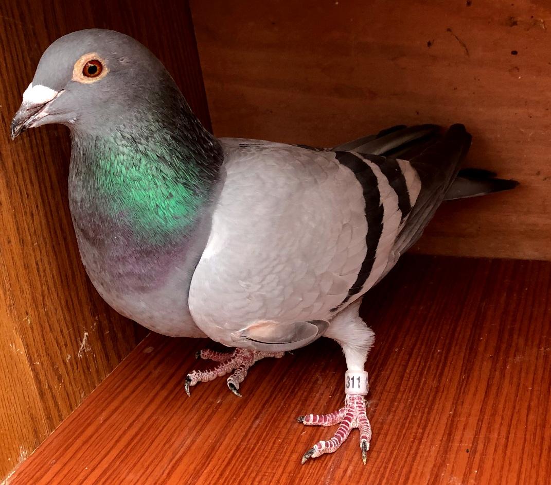 AU 2017 AFL 311 BB Hen