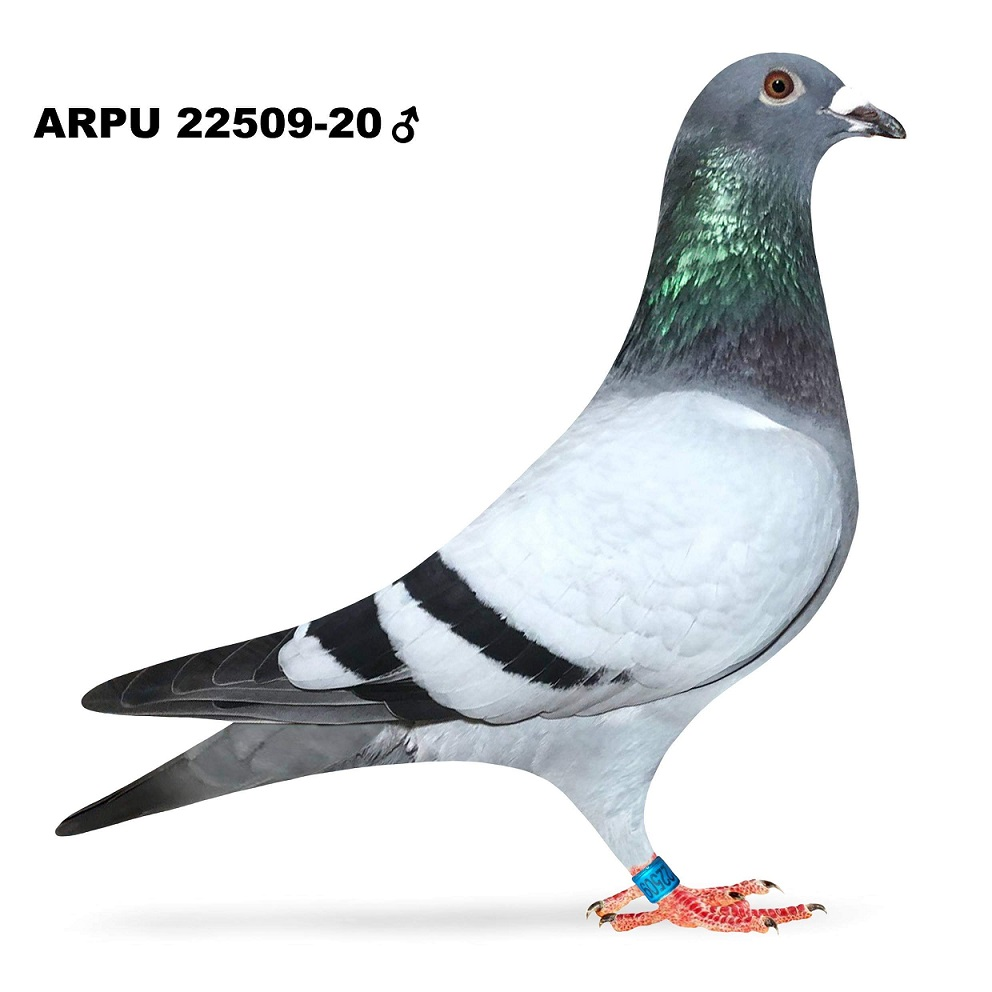 ARPU 22509-20 BB COCK