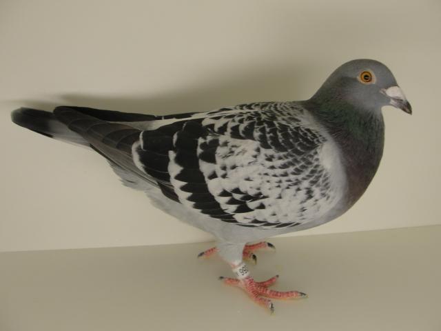 12056 SPEED BIRD - Gust Jansen x Rudi Diels (Goudhaantje)