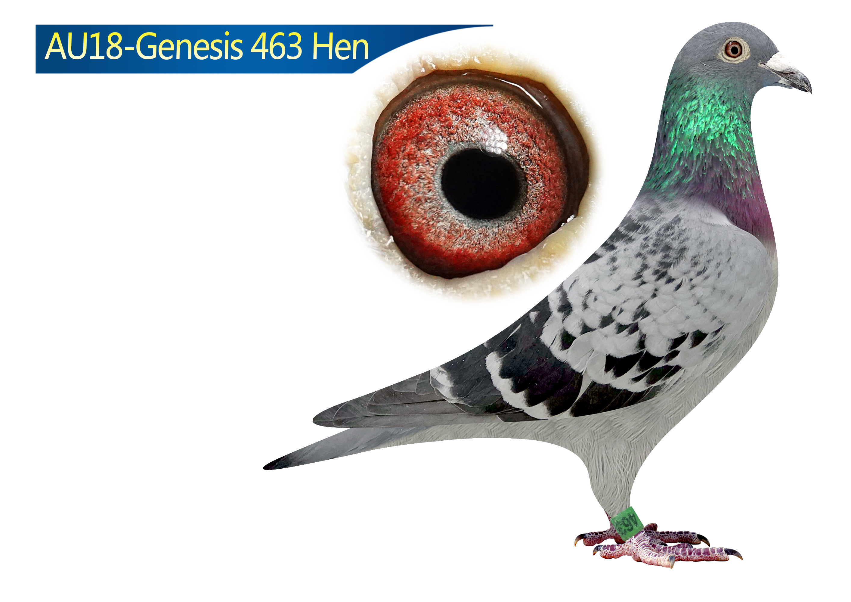 AU18-463 (Hen) Son of Charley X Tentil 610