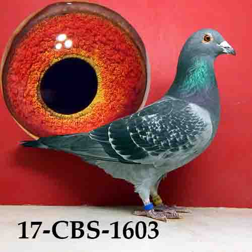 17-CBS-1603 BC/COCK