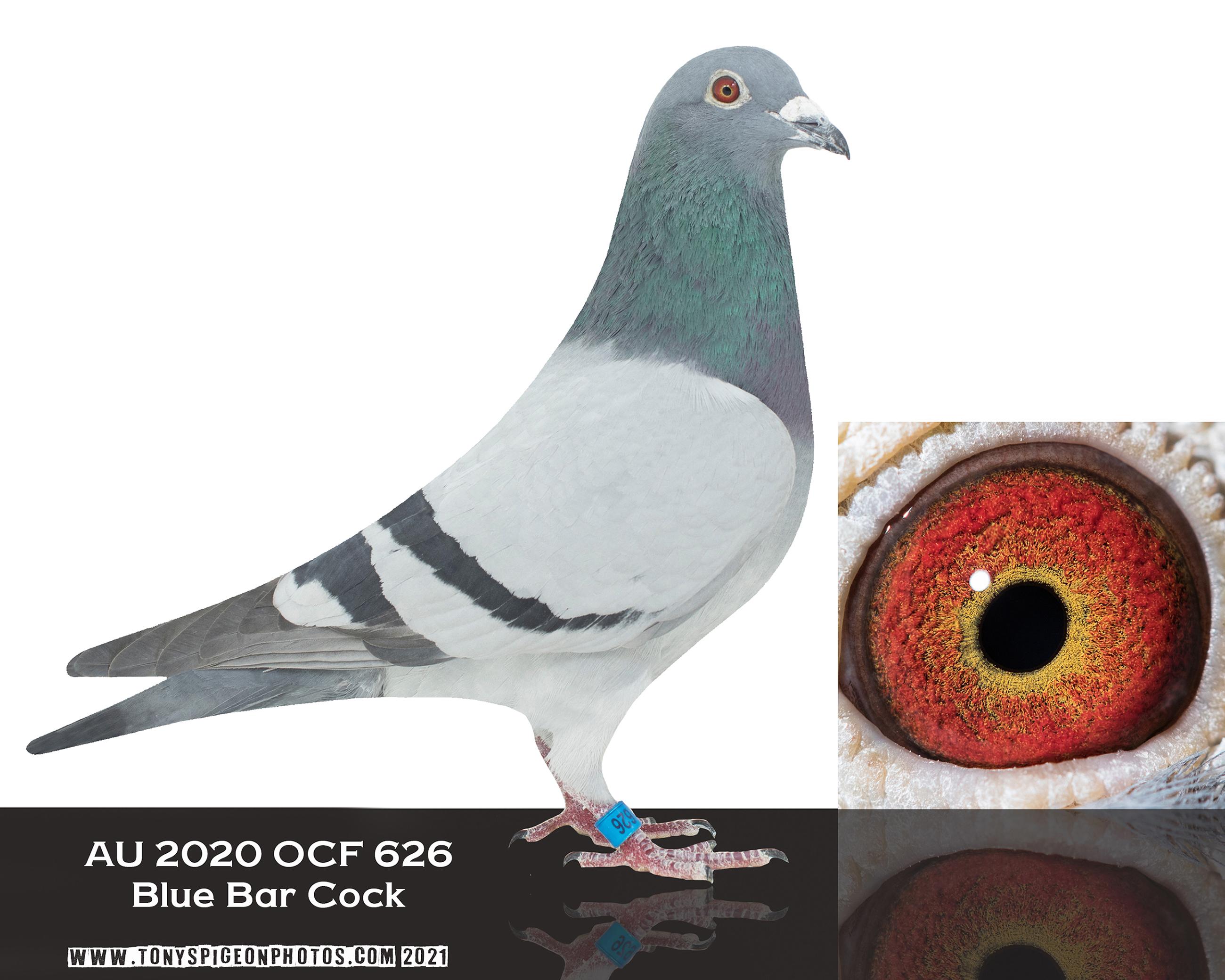 AU 2020 OCF 626 Blue Bar Cock