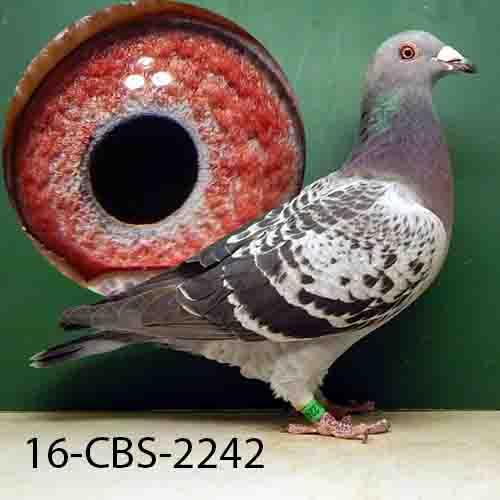 16-CBS-2242 BC Cock