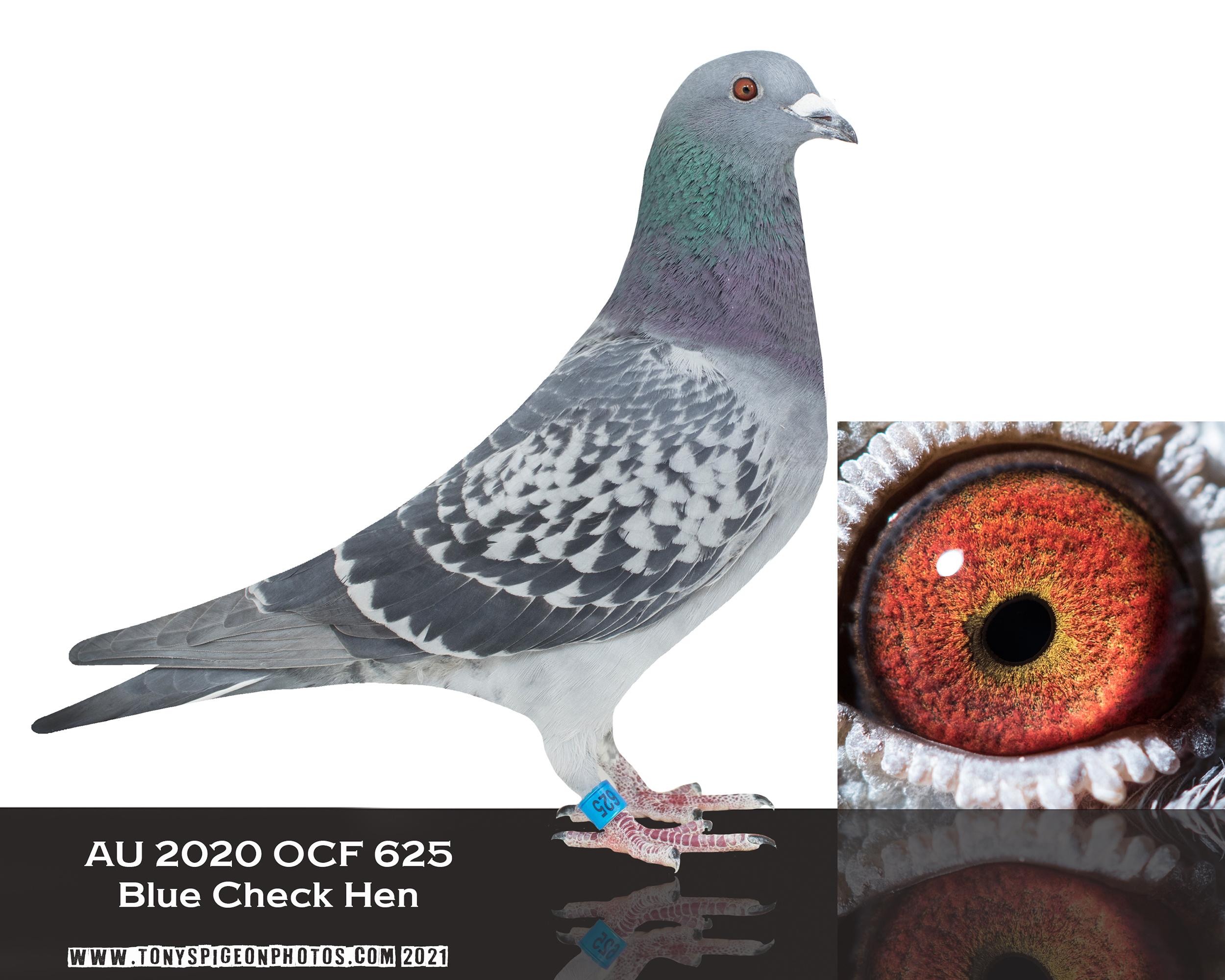 AU 2020 OCF 625 Dark Check Hen