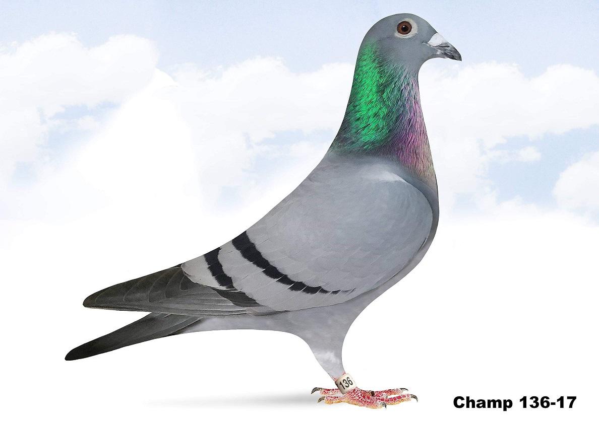 Champ 136-17 BB Hen