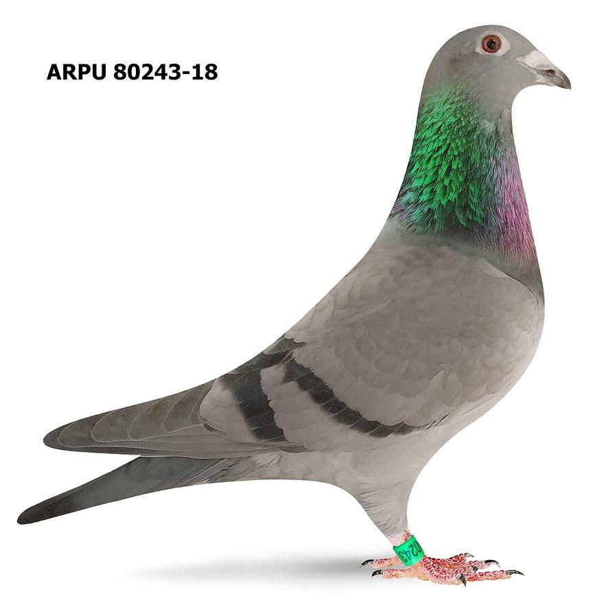 ARPU 80243-18 BB (Greek/Protege)