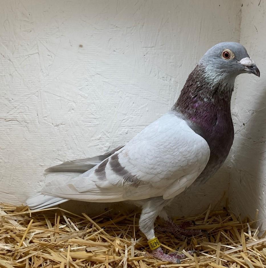 19-CDR-9478 Silver Cock