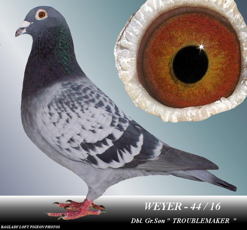 WEYER - 44 / 16  BC HEN