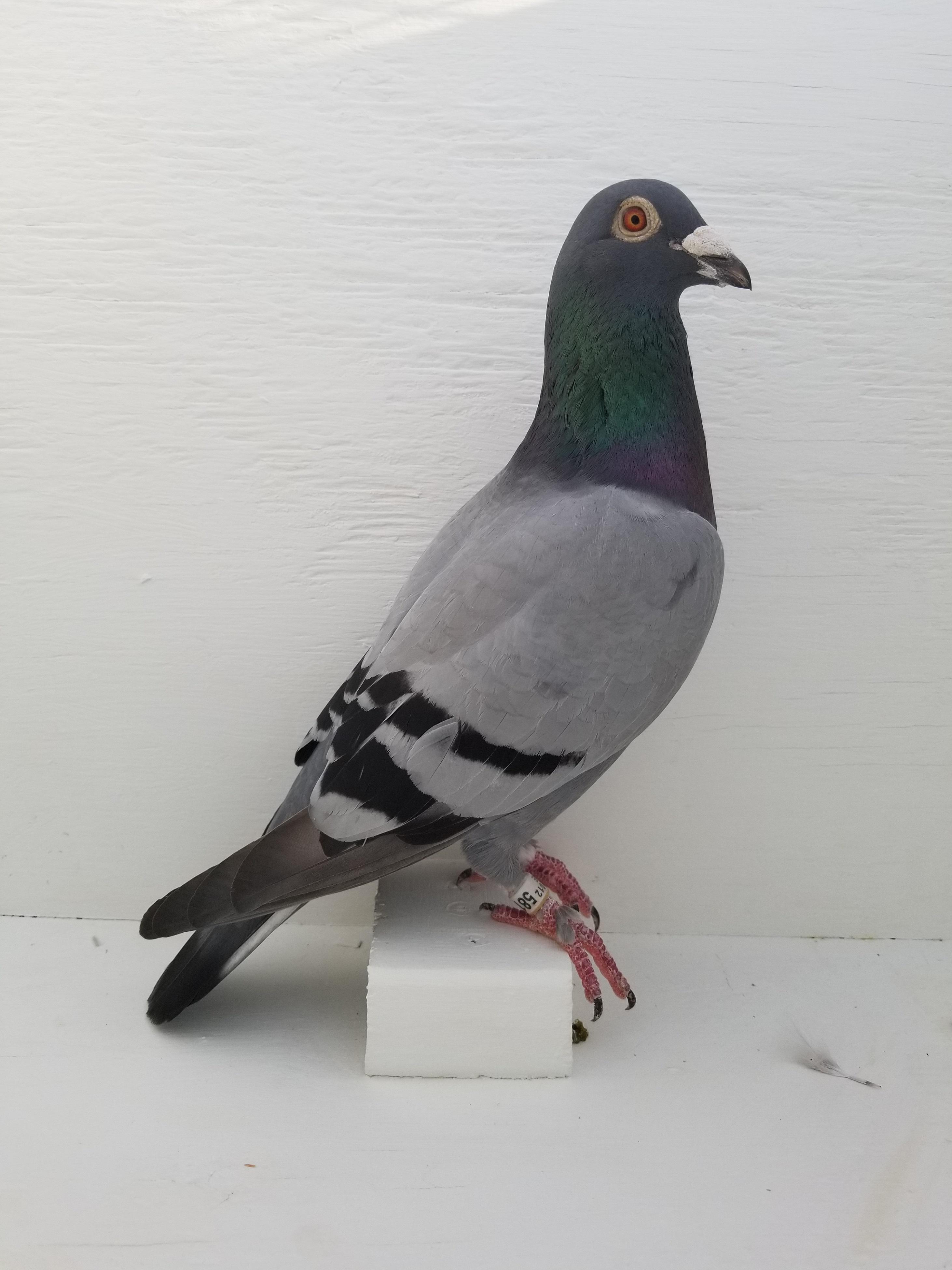 Speed Bird, Guagua line ( jannsen) The Best