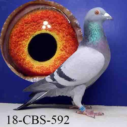 18-CBS-592 BB/COCK