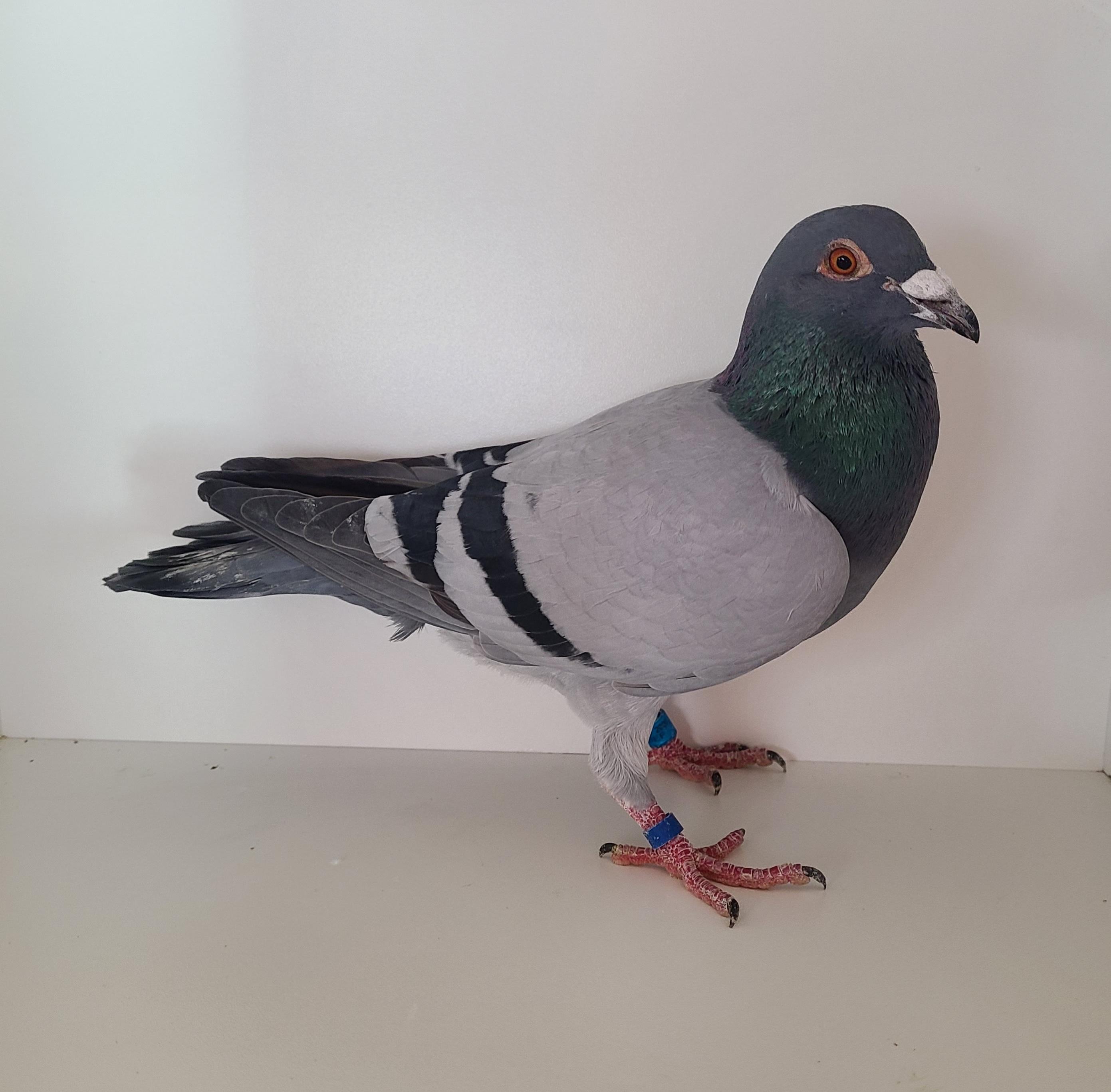 AU-20-1462-DEF Bb Cock