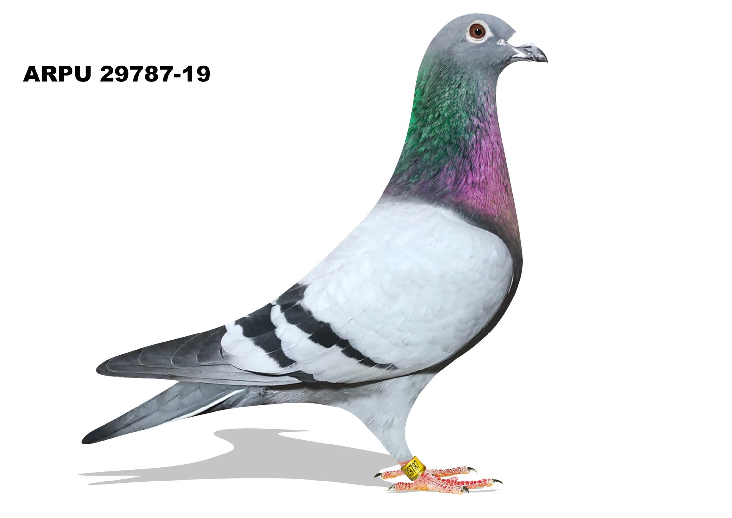 ARPU 29787-19 BB Cock (SAMDPR)
