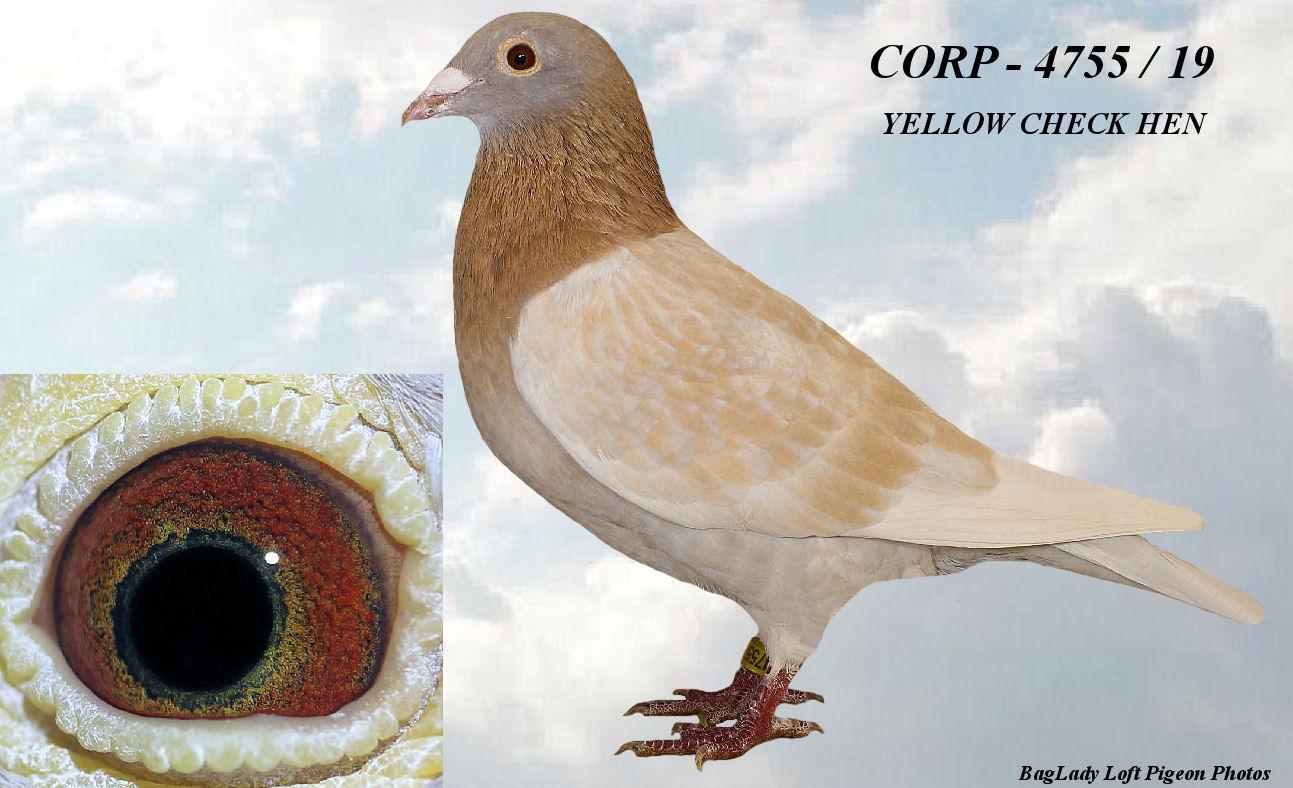 CORP - 4755 / 2019  YELLOW HEN