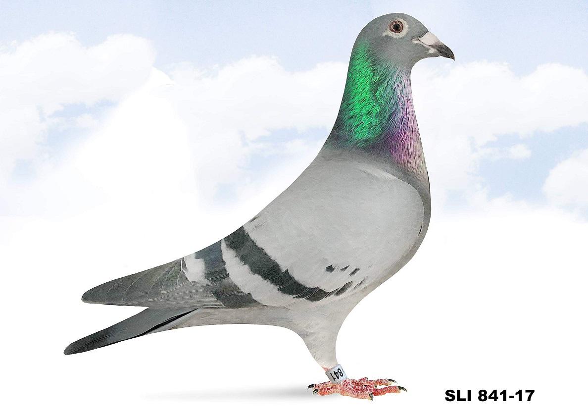 SLI 841-17 BB Hen (Direct Jones Boys)
