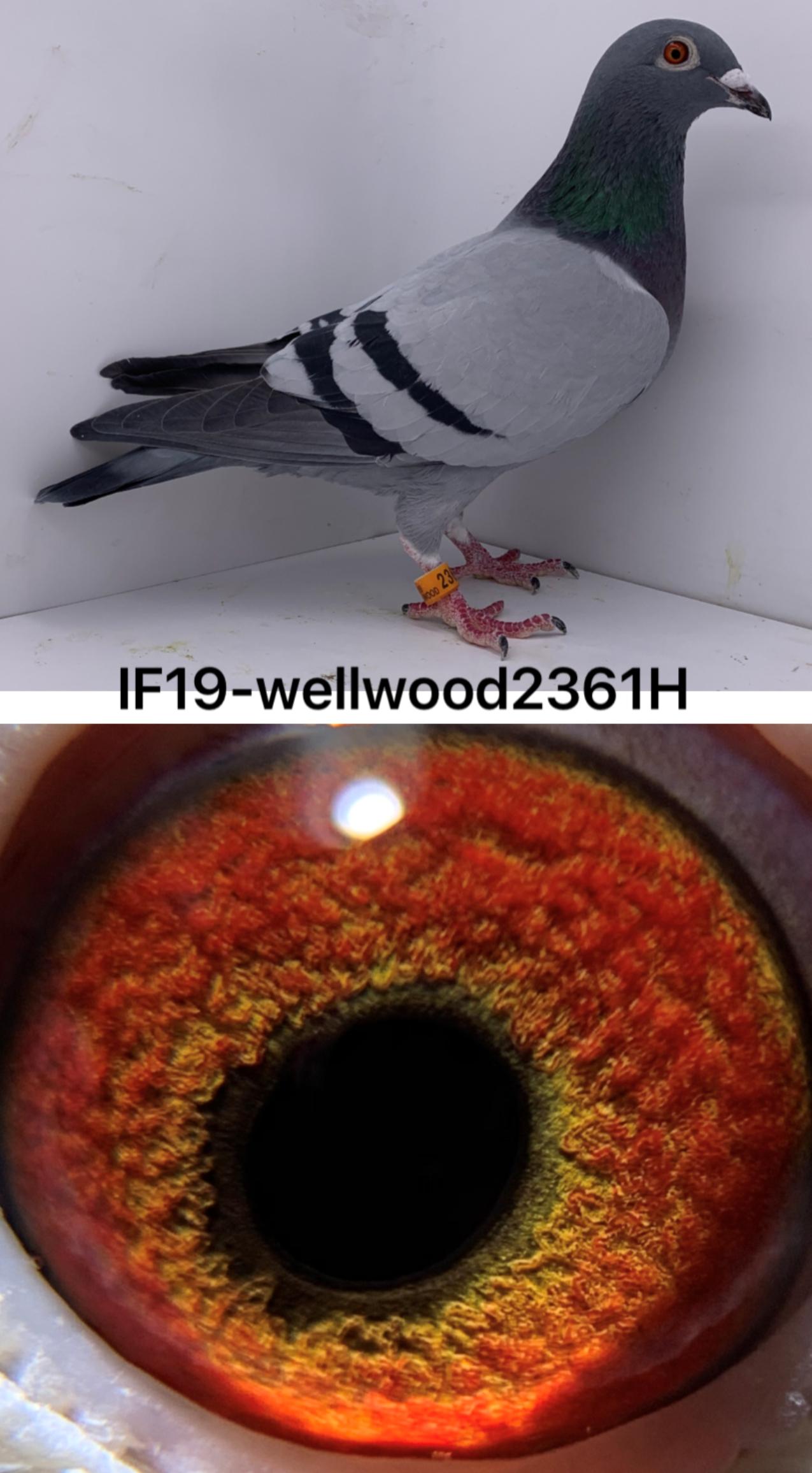 IF19-WELLWOOD2361