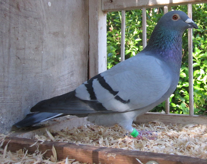 AU-2018-AA-41790 Blue Bar Cock