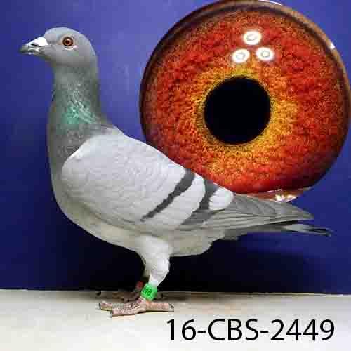 16-CBS-2449 BB Hen