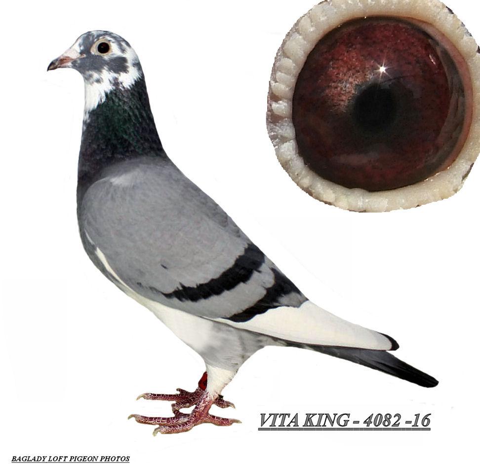 VITA KING - 4082 / 16 BB WFL SPL HEN