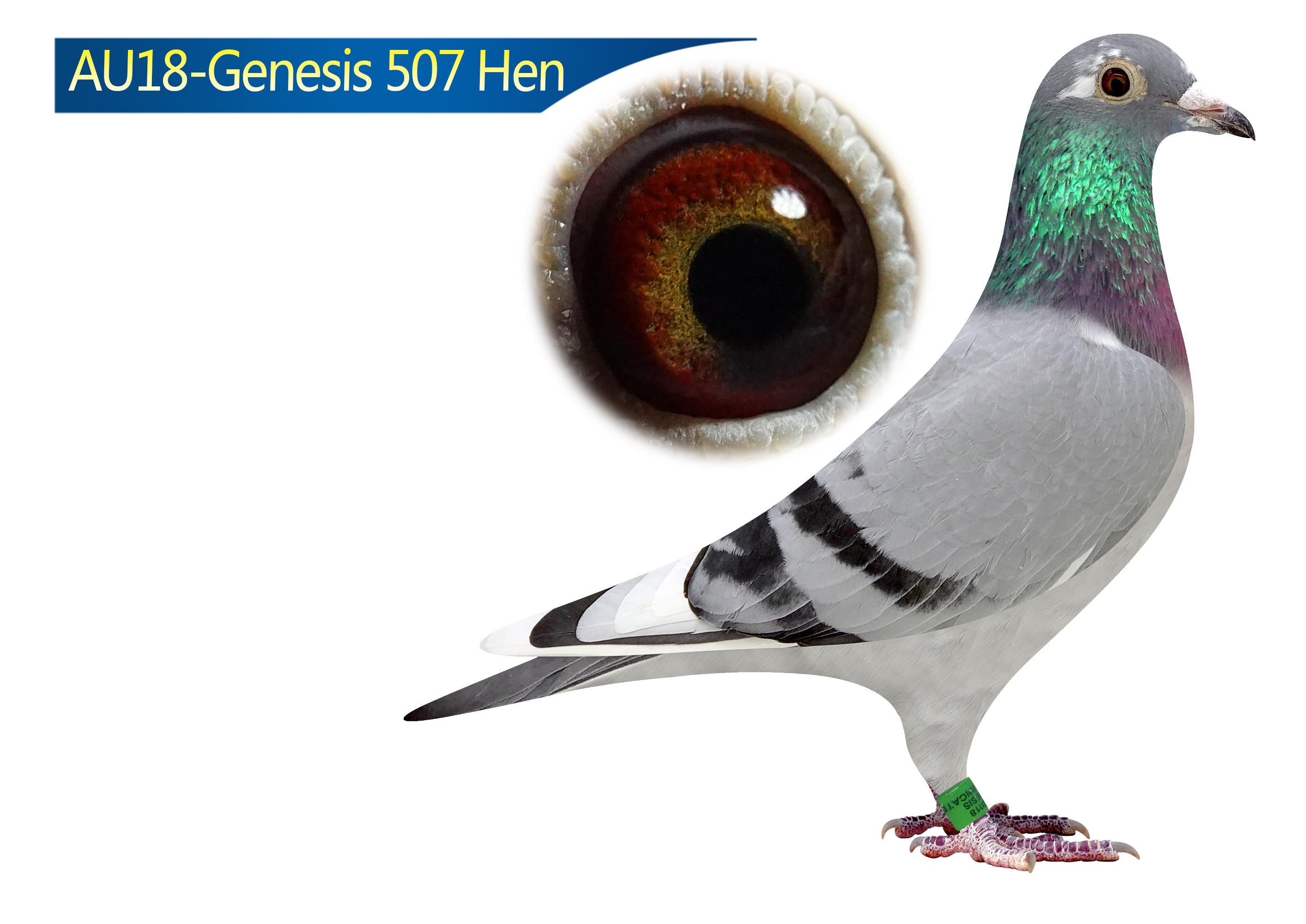 AU18-507 Hen 100% Klaas Alfons