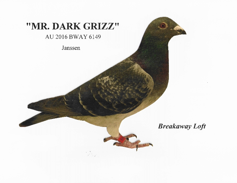 AU 2016 BWAY 6149 DARK Grizzle Cock