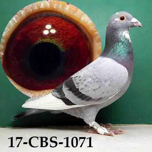 17-CBS-1071 PENCIL SPLASH/COCK