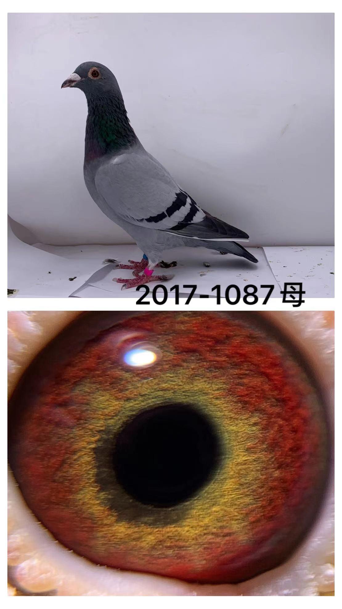 IF17-1087