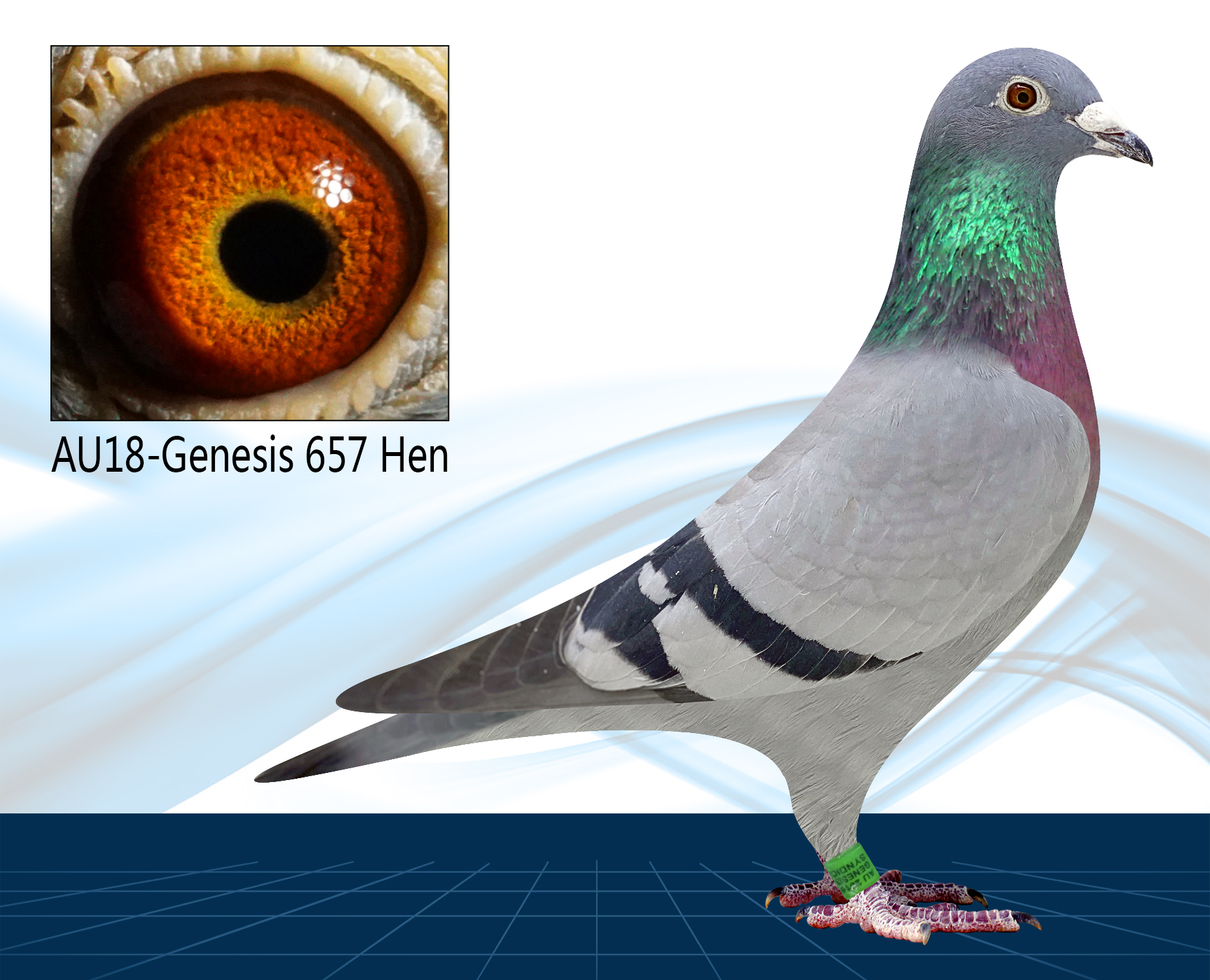 AU18-657(Hen) Off LEONARDO x TINKELBEL