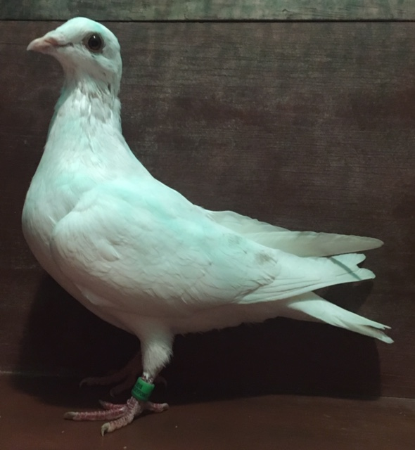 3 WHITE YOUNG BREEDERS FROM DIRECT IMPORTS