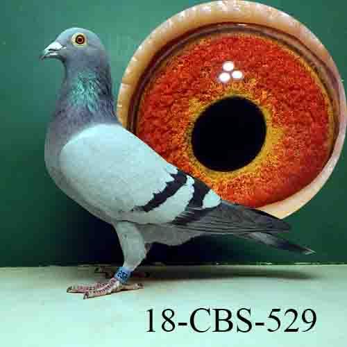 18-CBS-529 BB Hen. De Saer