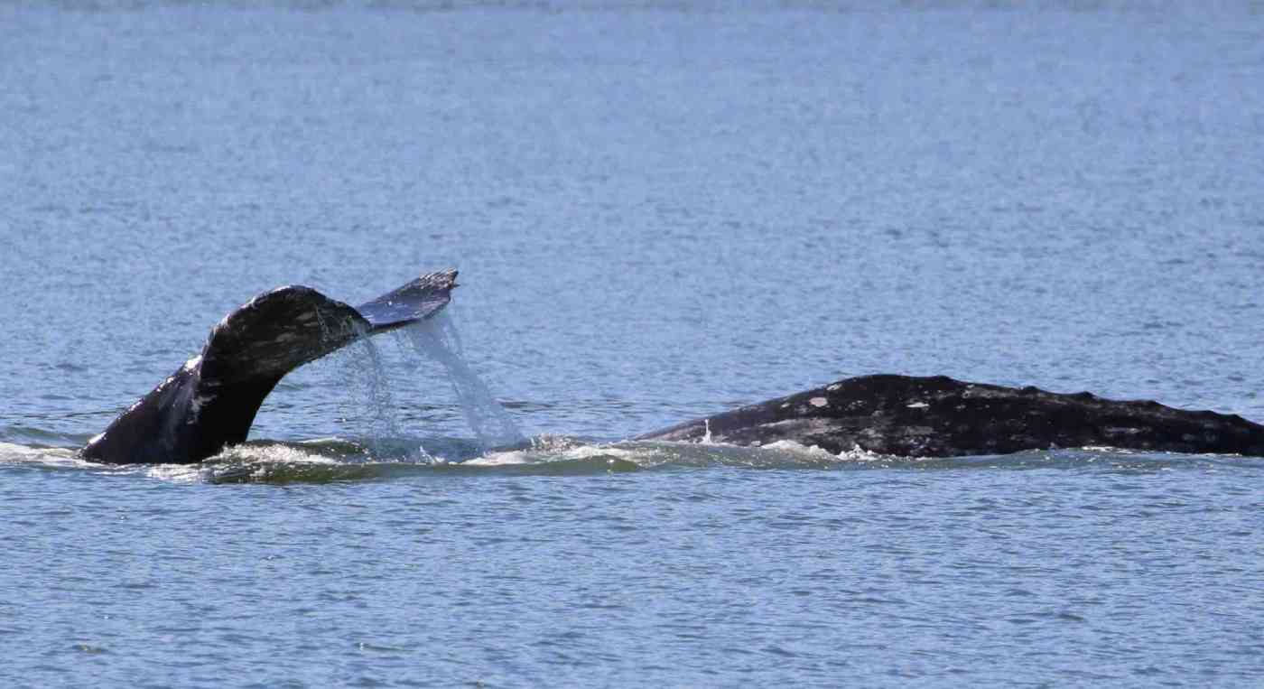 Everett Whale Watching Guaranteed Whales